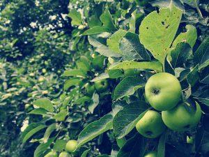 Gravensteiner - Grafensteiner Apfel