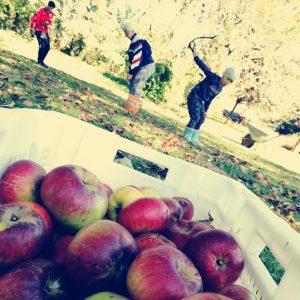 Pogatsch - Haslinger Apfel