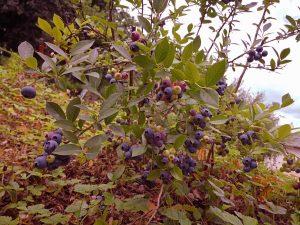Auch Heidelbeeren findet man in unserem nachhaltig angelegten Obst- und Beerengarten.