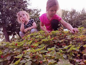 Natürlich dürfen Luisa und Celine nicht nur mithelfen, am liebsten pflücken sie die Beeren für ihren eigenen Genuss. Dazu zählen auch Walderdbeeren mit einmaligem Aroma.