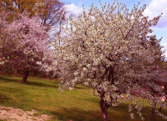 Obstbäume in voller Blüte.